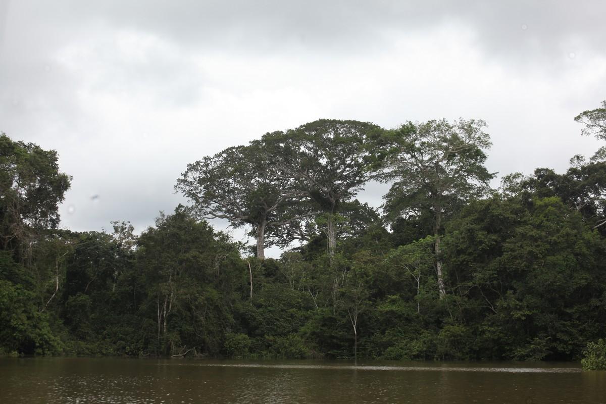 Ściana wielowarstwowego lasu tropikalnego, z górującymi okazami puchowca (kapok, Ceiba pentandra z rodziny Malvaceae)