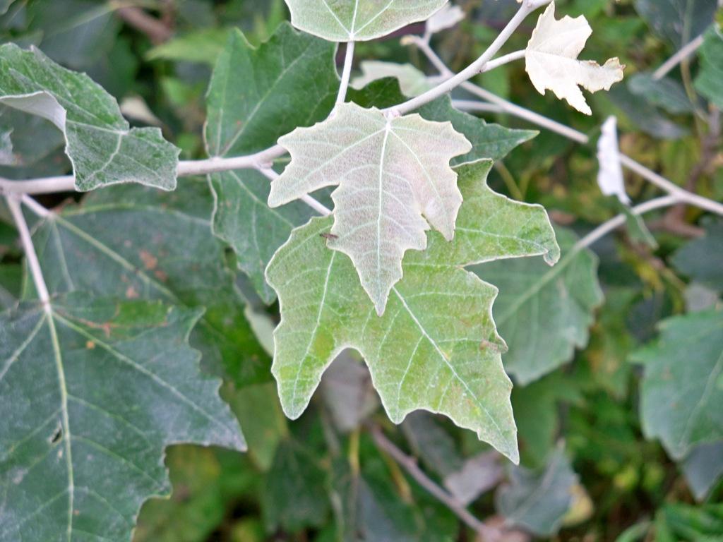 1-topola biała - liście