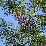 1-topola drżąca - przebarwiające się na czerwono liście, wrzesień