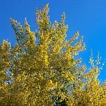 1-złote-przebarwione na żółto liście topoli drżącej;