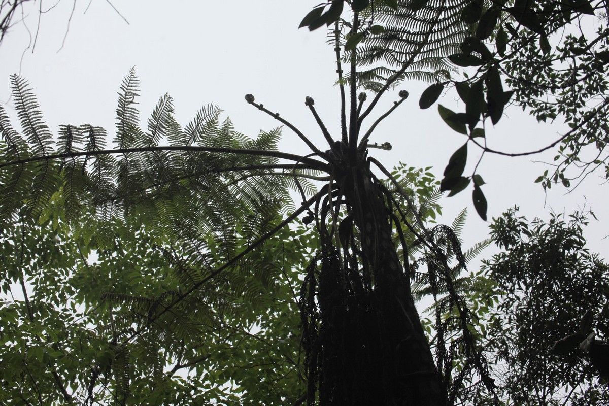Drzewiaste paprocie są ważnym składnikiem lasu mglistego