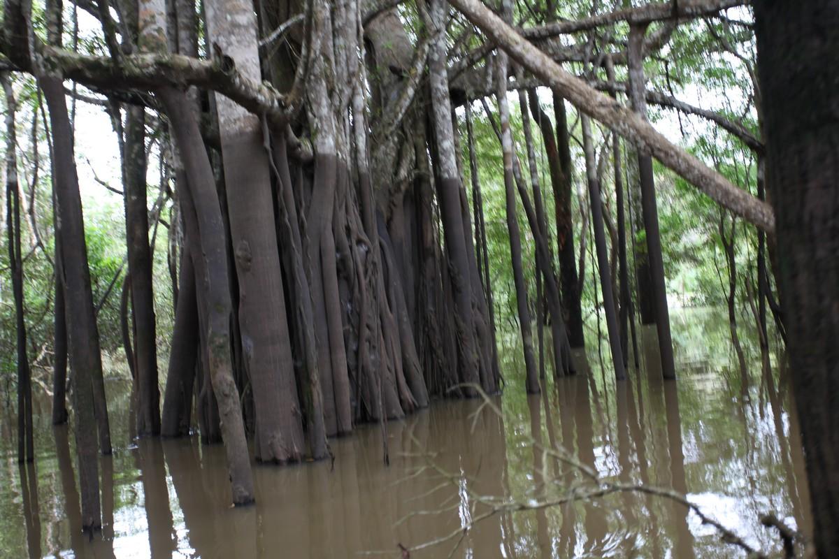 Jak widać na pniach drzew poziom wody w dżungli może być znacznie wyższy