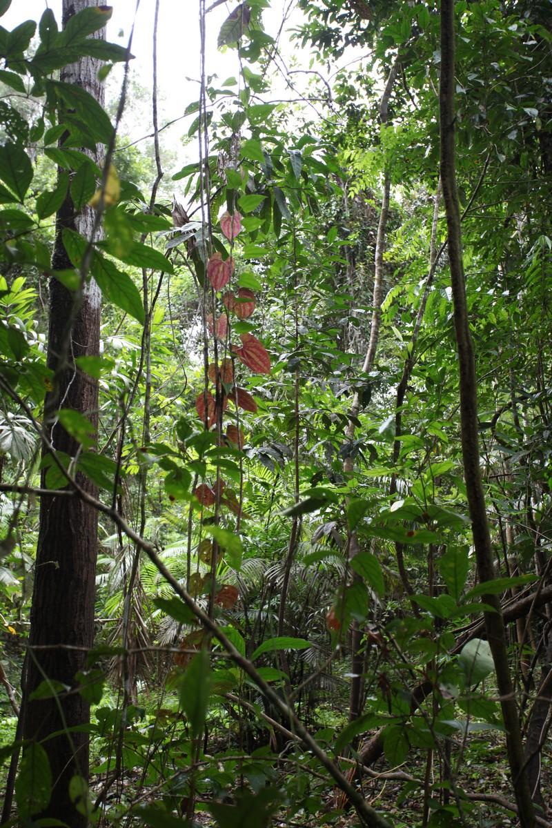 Las poprzeplatany jest licznymi lianami, m.in