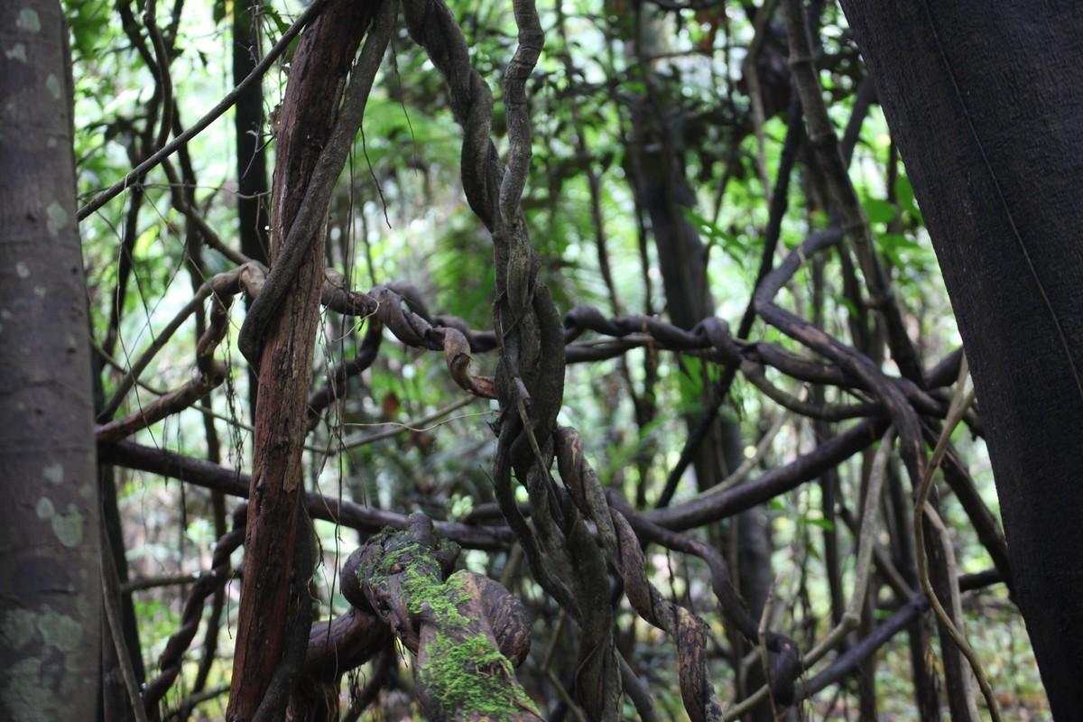 Liczne liany tworzą gąszcz trudny do przebycia
