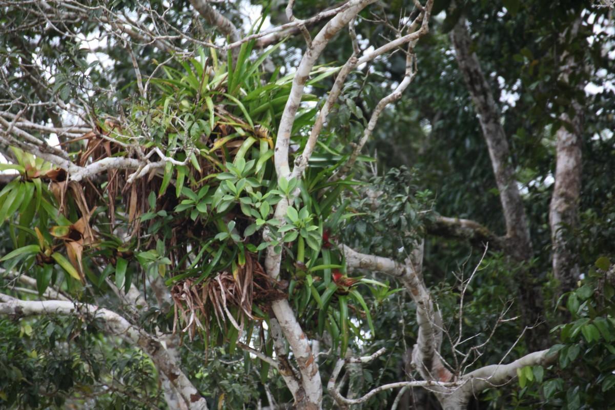 Pośród licznych i częstych epifitów spotyka się różne pnącza, paprocie, storczyki, bromelie oraz glony i mchy a także rośliny drzewiaste, które rosną na drzewach