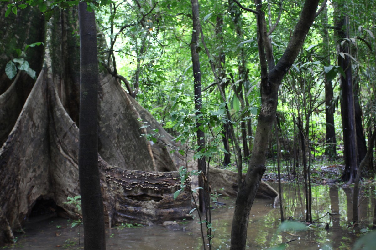 Podpory korzeniowe puchowca (kapok, Ceiba pentandra)