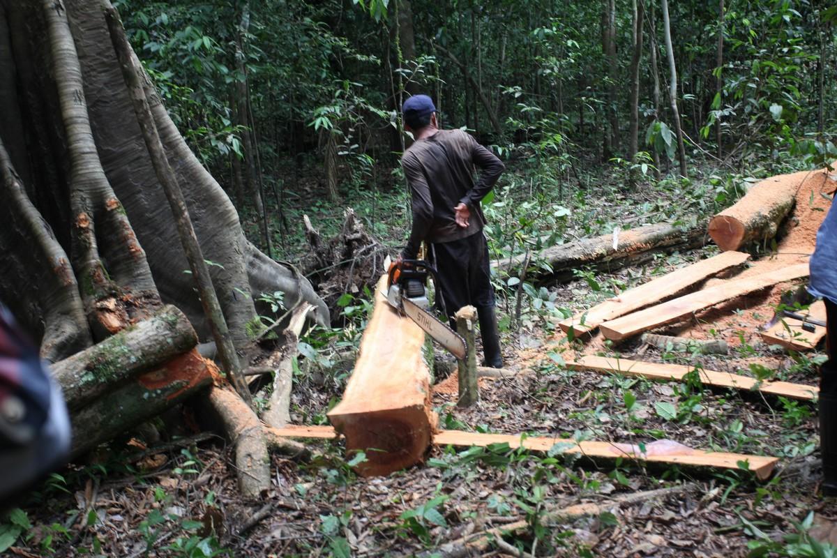 Pozyskiwanie i wstępna obróbka drewna odbywa się w dżungli