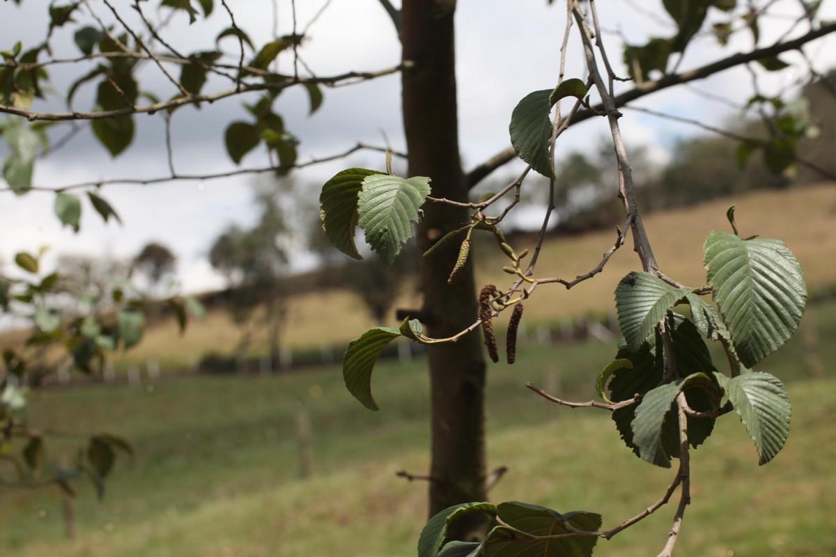W wilgotniejszych miejscach spotyka się olszę Alnus acuminata Kunth