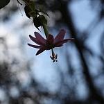 Męczennica (Passiflora) pięknie kwitnące pnącze