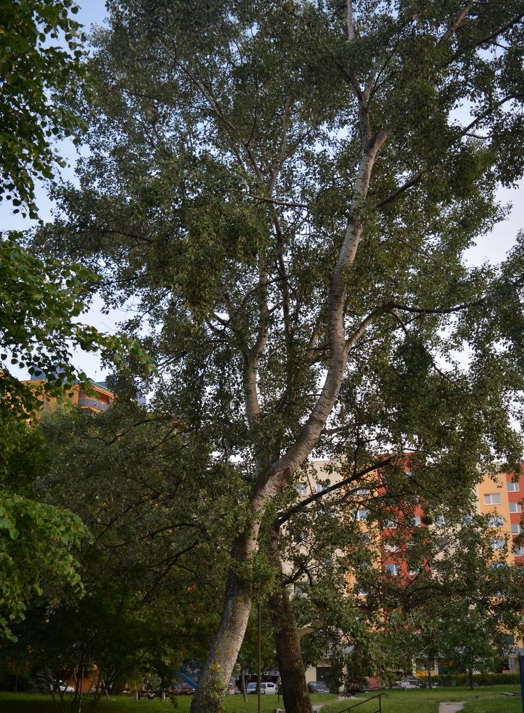 1-drzewa -podwórko (26)