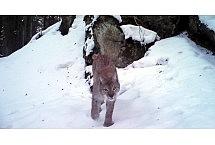 ryś screen z fotopułapki: żródło Roztoczański Park Narodowy