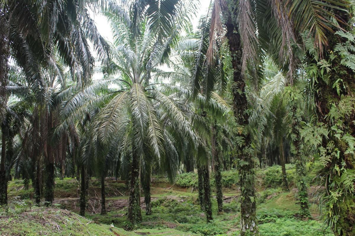 Plantacja olejowca gwinejskiego