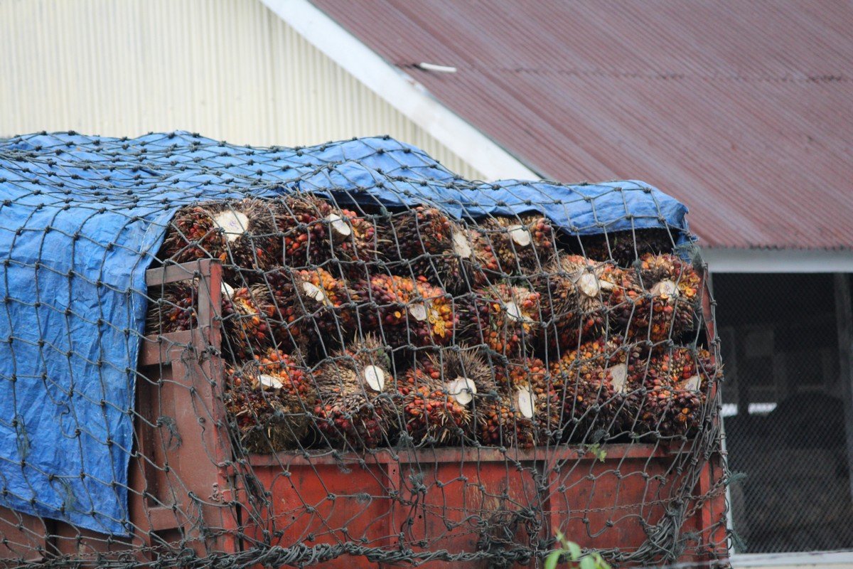 Transport nasion palmowych