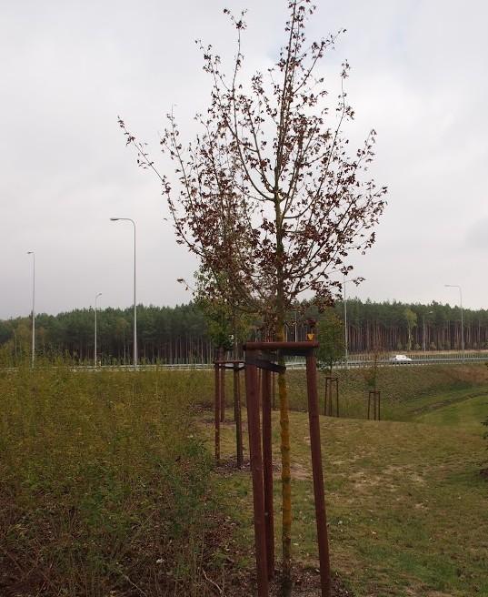 drzewo_miasto_sadzonka