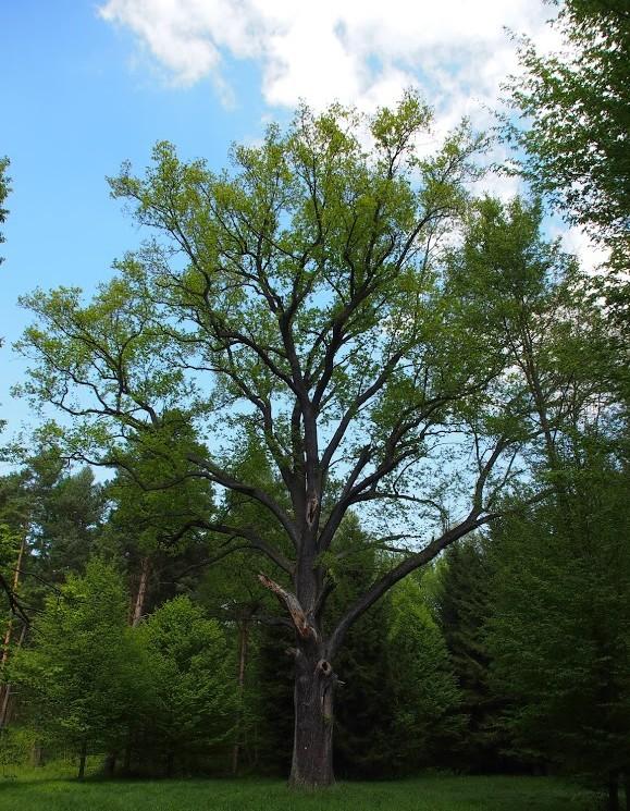 okazałe_drzewo