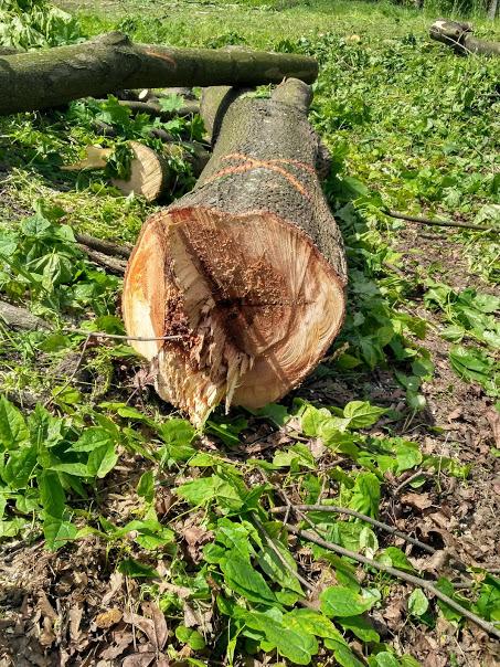wycięte_drzewo