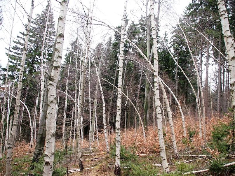 drzewa_wiatr_połamane