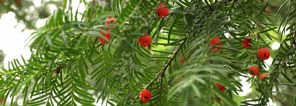 cis_taxus_baccata_2